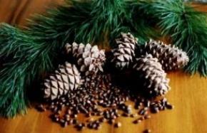 Настойка из кедровых сибирских орешков лечит миому матки и кисту яичников